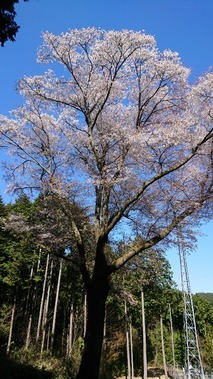 鹿野 金松桜  (4)