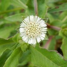 170904 田圃の花 (9)