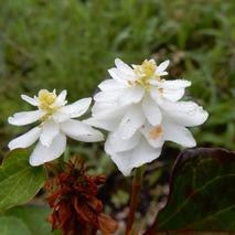 170623 庭の花  (3)