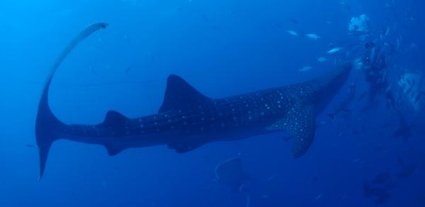 ジンベエザメ 沖縄 ファンダイビング Whale shark : 海賊船長のひとりごと