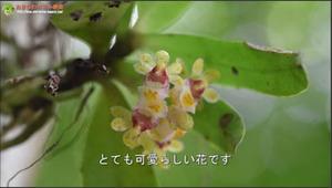 ブログ告知カシノキラン動画
