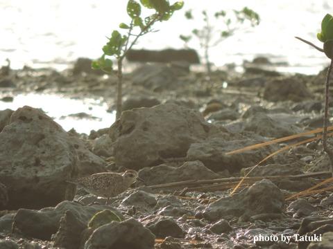 具志干潟のムナグロ