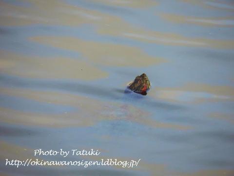 遊水池のクロツラヘラサギ