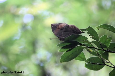 嘉津宇岳のコノハチョウ