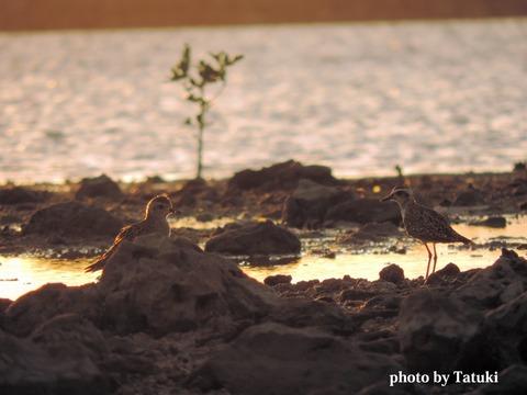 具志干潟のムナグロペア