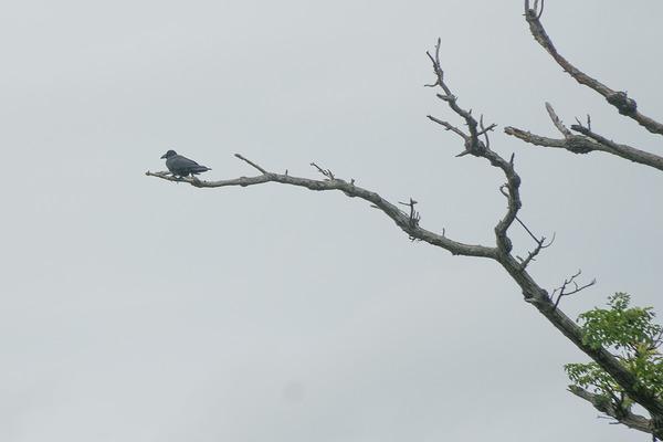 crow_150507