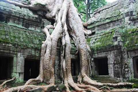 よくわからないカンボジアの木
