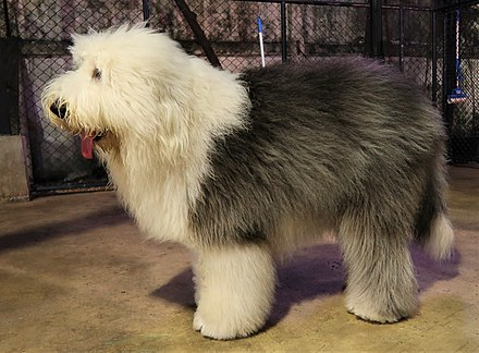 440px-Old_English_Sheepdog_(side)
