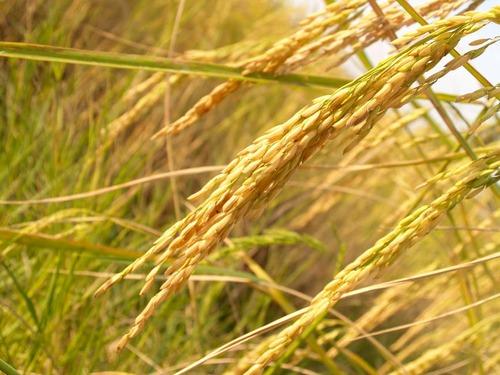 agriculture-asia-autumn-botany-162992