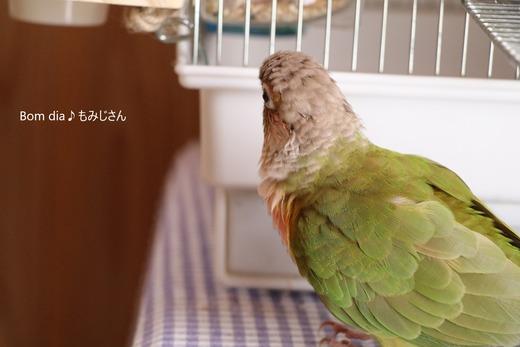 ウロコインコ(パイナップル)の『もみじ』さんのブログ