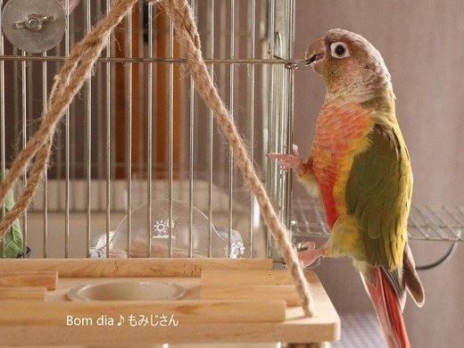 ウロコインコ・パイナップルのブログ:Bom dia♪もみじさん