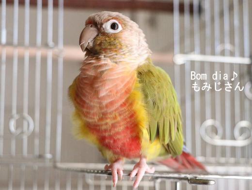 ウロコインコの『もみじ』さんのブログ:Bom dia♪もみじさん