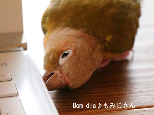 ウロコインコの飼育ブログ:Bom dia♪ もみじさん