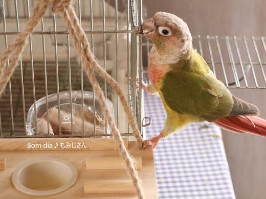 ウロコインコの写真満載のブログ:Bom dia♪もみじさん