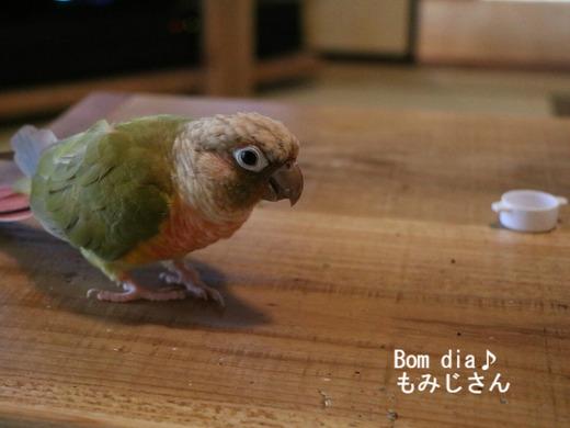 ウロコインコ大好きブログ:Bom dia♪もみじさん