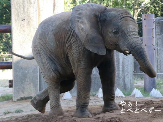 とべ動物園アフリカゾウ:砥愛ちゃん(メス、5歳)