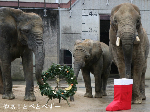 とべ動物園アフリカゾウのブログ:やぁ!とべとべずー