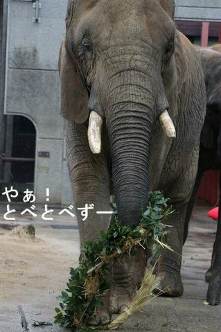 とべ動物園アフリカゾウ:リカ母さん(推定32歳)