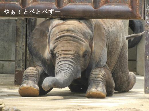 匍匐前進するアフリカゾウの子象の砥愛ちゃん