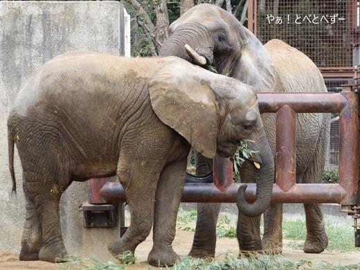 とべ動物園アフリカゾウ:アフ、リカ、媛、砥夢、砥愛