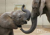 とべ動物園2020年公式カレンダー:6月アフリカゾウ