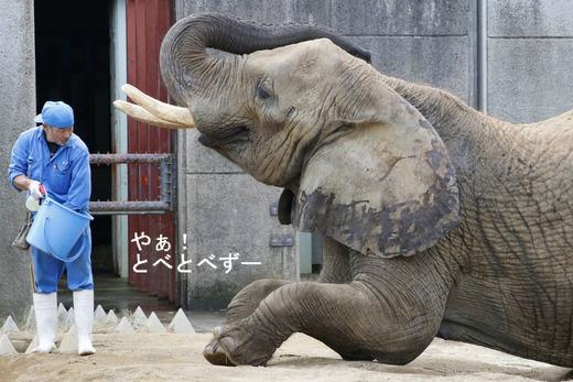 とべ動物園アフリカゾウの