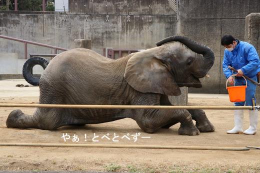 とべ動物園ブログ:ゾウ、サーバル、ピューマ、オラウータン