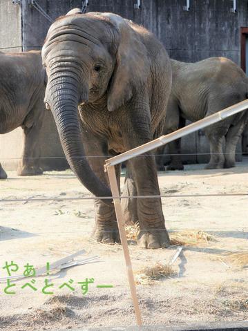いたずらっ子のアフリカゾウの子象の砥愛ちゃん
