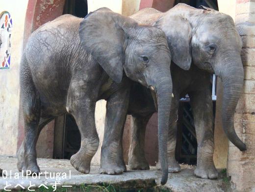 大きさからすると、とべ動物園の媛ちゃん(8歳)と同年代位の姉妹ですかね。... やぁ!とべとべず