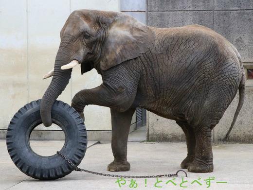 とべ動物園アフリカゾウのブログ
