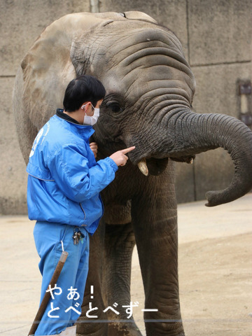 とべ動物園アフリカゾウ:仔象の砥愛ちゃん(メス、5歳)