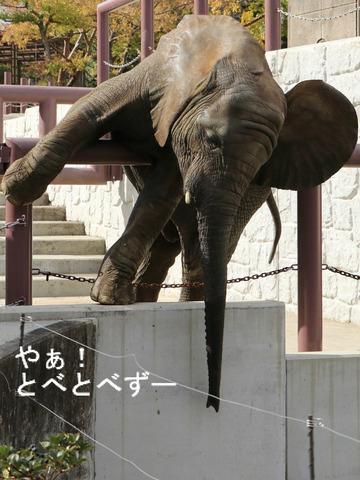 とべ動物園ブログ:ゾウ、ホッキョクグマ、ライオン、サーバル