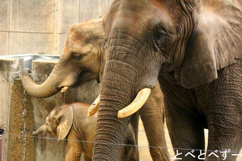 アフリカゾウの画像 p1_39