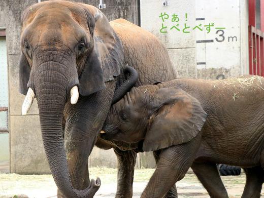とべ動物園アフリカゾウ:砥愛ちゃんの授乳姿