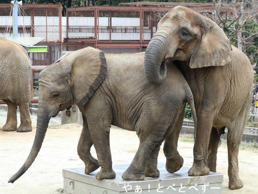 とべ動物園アフリカゾウの姉妹:媛ちゃん、砥愛ちゃん