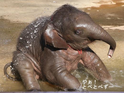 アフリカゾウ、アジアゾウの写真満載のブログ:やぁ!とべとべずー