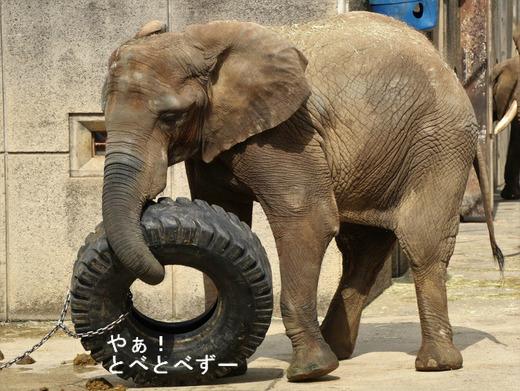 とべ動物園アフリカゾウ:媛ちゃん(メス、13歳)