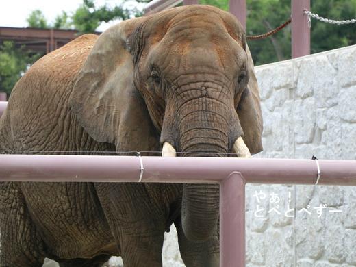 とべ動物園アフリカゾウ:リカ母さん(推定33歳)