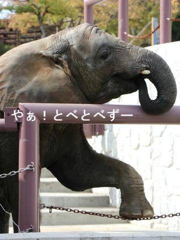 日本で唯一血縁関係のあるアフリカゾウが暮らす愛媛とべ動物園