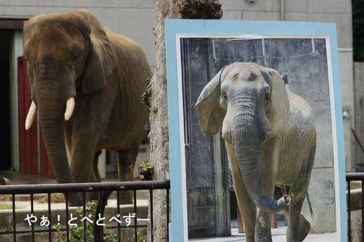 とべ動物園アフリカゾウ:リカ母さんとアフ父さん