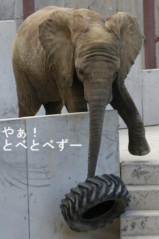 日本で唯一アフリカゾウの家族が見られる愛媛県立とべ動物園