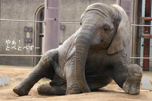 とべ動物園アフリカゾウ:砥愛ちゃん
