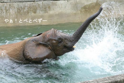 とべ動物園アフリカゾウの砥愛ちゃん