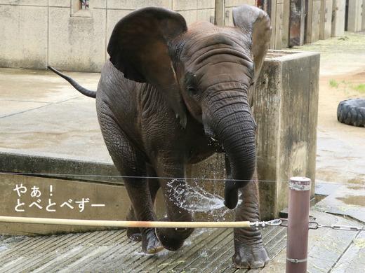 水掛け注意:愛媛県立とべ動物園アフリカゾウ