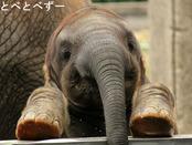 2015年とべ動物園カレンダー:6月(砥愛)