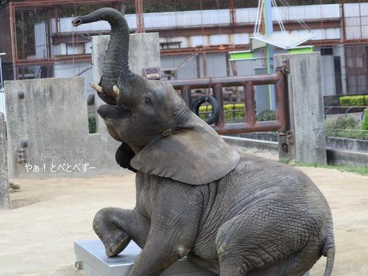 アフリカゾウ写真家:矢野賢一(やぁ!とべとべずー)