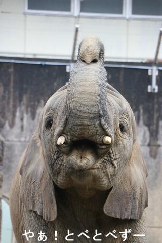 とべ動物園アフリカゾウ:子象の砥愛ちゃん(メス、5歳)