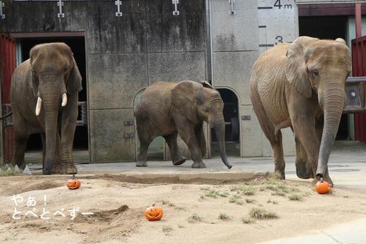 とべ動物線イベント:ゾウにおばけカボチャをプレゼント