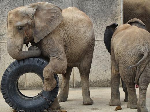 とべ動物園アフリカゾウ:媛ちゃん(メス、12歳)