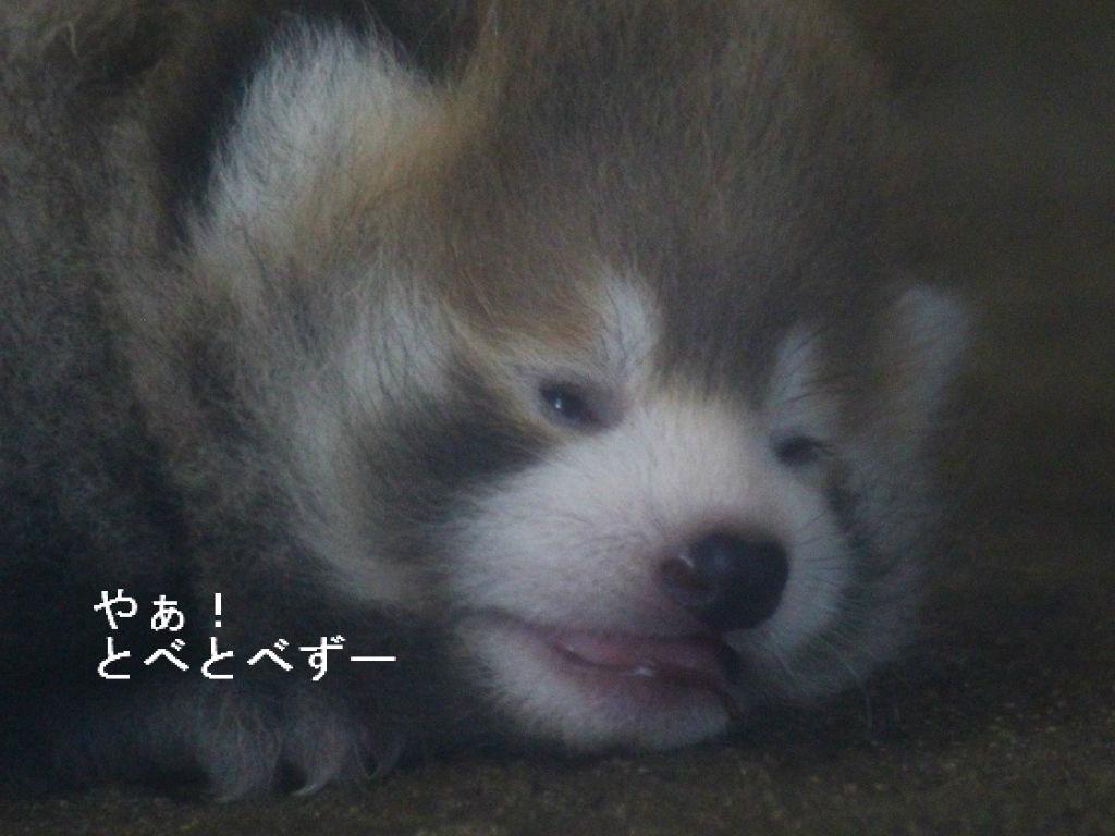 とべ動物園レッサーパンダのブログ:やぁ!とべとべずー